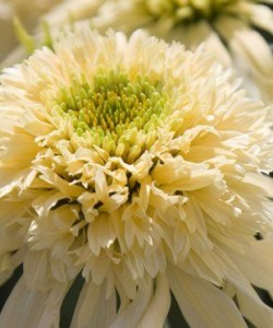 Echinacea-purpurea-Mozzarella-–-эхинацея-Mozzarella