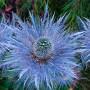 Eryngium Alpinum small