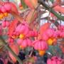 Euonymus europaeus 'Red Cascade'. Бересклет европейский сорт 'Red Cascade'1