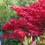Euonymus europaeus 'Red Cascade'. Бересклет европейский сорт 'Red Cascade'7