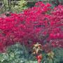 Euonymus europaeus 'Red Cascade'. Бересклет европейский сорт 'Red Cascade'9