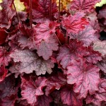 Heuchera-Midnight-Bayou-PPAF-PVR-гейхера-Midnight-Bayou