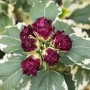 Hibiscus syr. Purpureus Variegatus-Гибискус сирийский вариегатный1