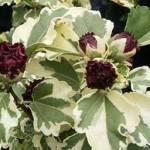 Hibiscus syr. Purpureus Variegatus-Гибискус сирийский вариегатный2