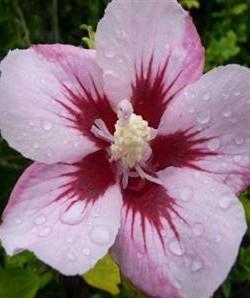 Hibiscus syriacus Mathilde -Гибискус сирийский  Матильда