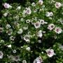 Hibiscus syriacus Monstrosus-Гибискус сирийский  Monstrosus1