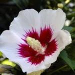 Hibiscus syriacus Monstrosus-Гибискус сирийский  Monstrosus3