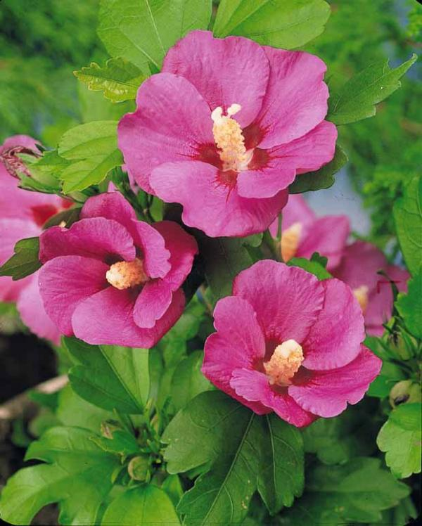 Hibiscus Syriacus Pink Giant Pink Giant