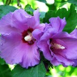 Hibiscus syriacus Russian Violet - Гибискус сирийский  Russian Violet.1