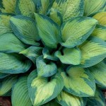 Hosta Paul's Glory-Хоста Пол'с Глории
