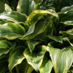 Hosta montana «Aureamarginata». Природный вид - хоста горная Ауреомаргината