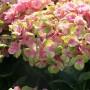 Hydrangea Magical Coral Opal (Xian)-