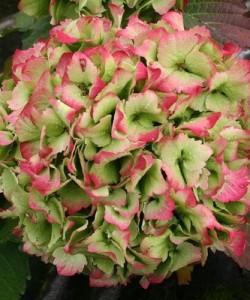Hydrangea Magical Coral jade-Гортензия крупнолистовая  Мэджикал Джейд1