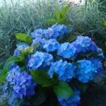Hydrangea m. Nikko Blue