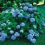Hydrangea m. Nikko Blue1