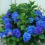 Hydrangea m. Nikko Blue2