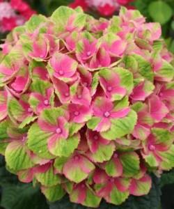 Hydrangea m.. Magical Amethyst rose