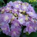 Hydrangea macrophylla Expression-Гортензия крупнолистная Экспрешен1