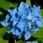 Hydrangea macrophylla ' Nikko Blue '-Гортензия крупнолистовая ' Nikko Blue '