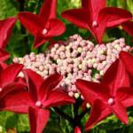 Hydrangea macrophylla Rotschwanz -Гортензия Ротшванц крупнолистная