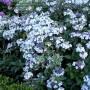 Hydrangea-macrophylla-Tricolor_MTk3NTcwNF8xOTc1NzA0Wg