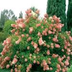 Hydrangea paniculata Pink diamond -Гортензия метельчатая Пинк Диамонд0