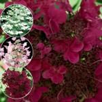 Hydrangea paniculata Wim`s Red- Гортензия метельчатая Красная Вима'.