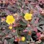 Hypericum moserianum Tricolor-Зверобой moserianum Tricolor1