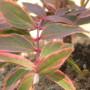 Hypericum moserianum Tricolor-Зверобой moserianum Tricolor2
