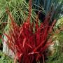 Imperata cylindrica Red Baron-Императа цилиндрическая Ред Барон1