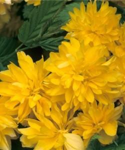 Kerria japonica Pleniflora-Керия японская Пленифлора4