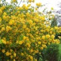 Kerria japonica Pleniflora-Керия японская Пленифлора5