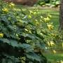 Kirengeshoma palmata-Киренгешома дланевидная.1