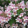 Kolkwitzia amabilis-Кольквиция приятная1