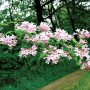 Kolkwitzia amabilis-Кольквиция приятная4