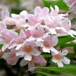 Kolkwitzia amabilis-Кольквиция приятная5