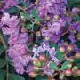 Lagerstroemia INDICA Violette Filli