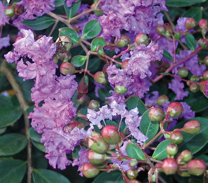 Lagerstroemia INDICA Violette Filli. Лагерстремия индийская Violette Filli. sadko.by