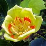 Liriodendron tulipifera2