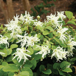 Loropetalum chinense «Snow Muffin» - Лоропеталум китайский«Snow Muffin»1