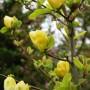 Magnolia 'Goldstar' 0