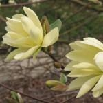 Magnolia 'Goldstar' 1