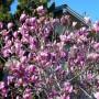 Magnolia'George Henry Kern'- Магнолия 'George Henry Kern'1