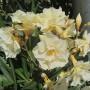 Nerium-оleander-yellow Олеандр лимонно- желтый махровый3