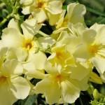 Nerium-Oleander-yellow Олеандр желтый