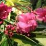 Nerium-oleander-Variegatus-Олеандр-вариегатный2