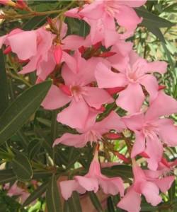 Nerium-oleander-pink1