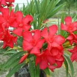 Nerium-oleander-red2