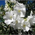 Nerium-oleander-white2