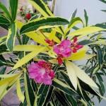 Nerium_oleander4ang
